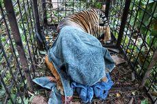 Harimau yang Diduga Terkam Remaja 15 Tahun di Hutan Riau Tertangkap