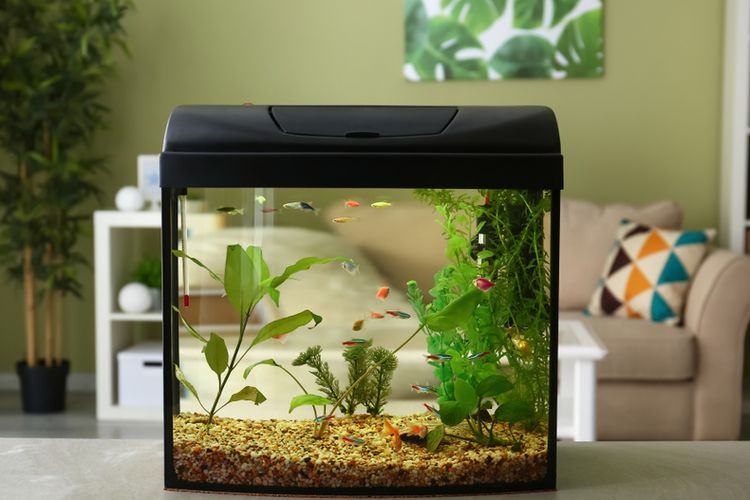 Ilustrasi akuarium di rumah.