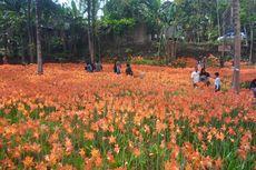 Kembali Mekar, Kebun Amarilis Diserbu Pengunjung