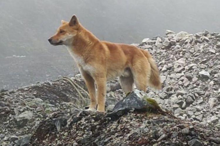 Anjing bernyanyi yang ditemukan di dataran tinggi di Papua. Anjing jenis ini tadinya diduga telah punah beberapa dekade lalu.