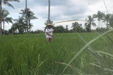 Cuaca Buruk, Hama Wereng Serang Puluhan Hektar Tanaman Padi di Jember