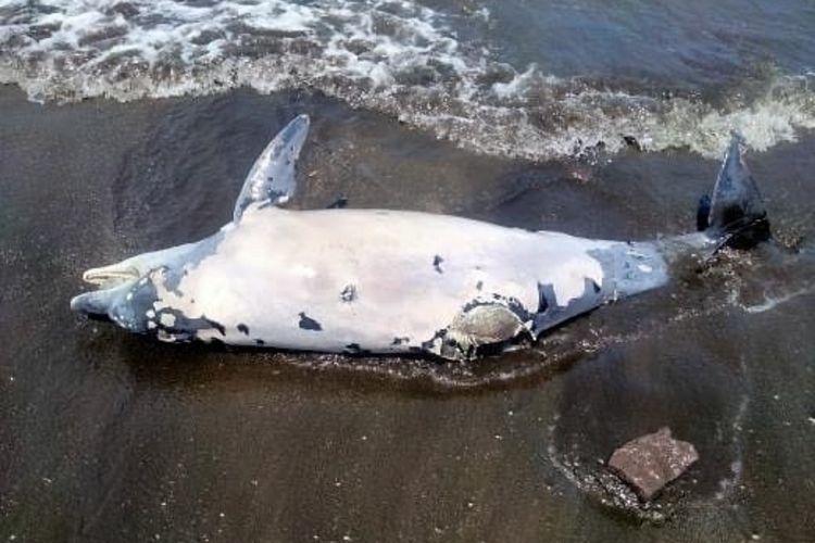 Seekor lumba-lumba ditemukan mati di Pantai Pebuahan, Desa Banyubiru, Kecamatan Negara, Kabupaten Jembrana, Bali, Kamis (16/9/2021).