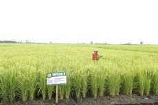 Sawah Tinggal 7,1 Juta Hektar, Jokowi Perintahkan Langkah Penyelamatan