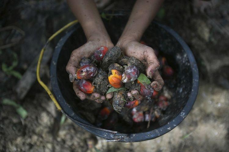 Seorang gadis kecil memegang buah kelapa sawit yang dikumpulkan dari sebuah perkebunan di Sumatera, Indonesia, 13 November 2017. Investigasi Associated Press menemukan banyak pekerja kelapa sawit di Indonesia dan negara tetangga Malaysia mengalami eksploitasi, termasuk pekerja anak.