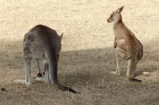 Kamasutra Satwa: Punya 3 Vagina, Bagaimana Kanguru Betina Kawin?