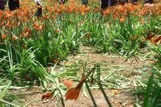 Dosen UGM Buat Lanskap Taman Bunga Amaryllis di Patuk