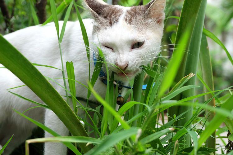 Ilustrasi kucing makan rumput.