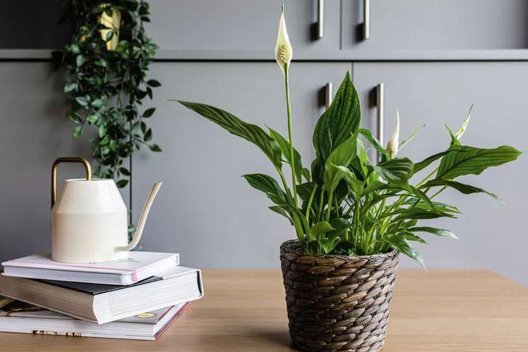 Tanaman peace lily sebagai dekorasi interior karya Cara Cormak