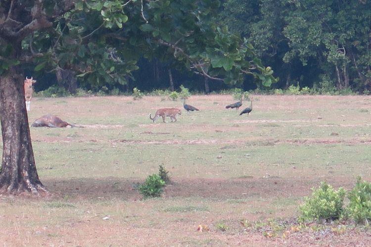 Satwa kucing besar, yang diduga Harimau Jawa (Phantera Tigris Sondaica) yang tertangkap kamera pengawas setelah memakan banteng yang mati, di kawasan Taman Nasional Ujung Kulon, Pandeglang, Banten, Jumat (25/8/2017).