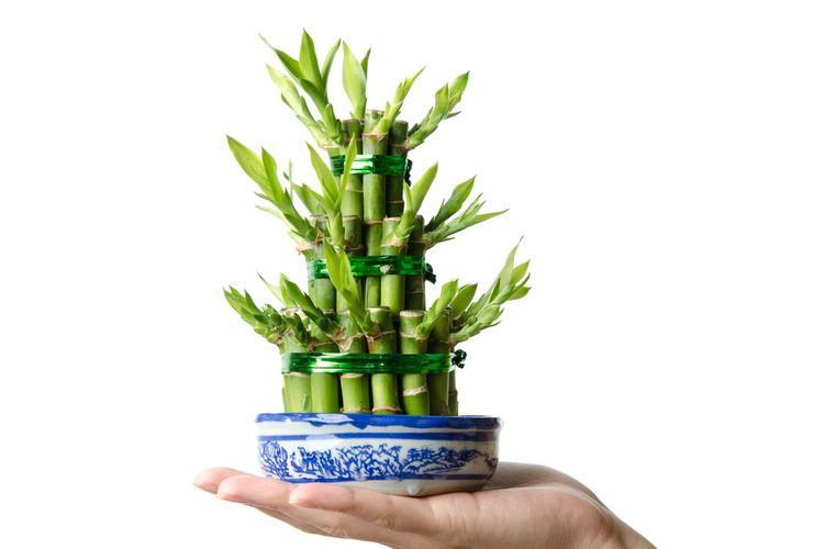 Ilustrasi tanaman hias Dracaena sanderiana atau bambu rejeki.