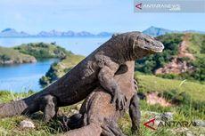 Cerita Punahnya Komodo di Pulau Padar, Perburuan Liar hingga Pembakaran Lahan
