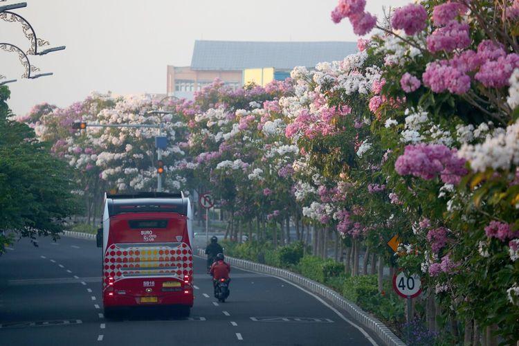 Bunga tabebuya bermekaran di sejumlah jalan protokol di Kota Surabaya, Jawa Timur