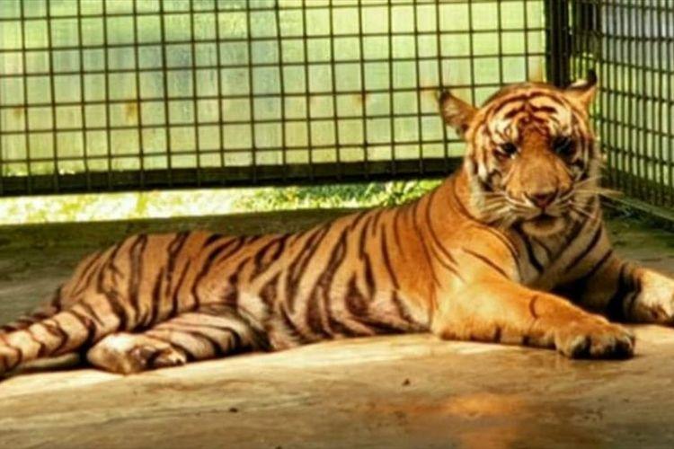 Harimau sumatera Atan Bintang berada di PRHSD di sumatera Barat untuk menjalani observasi. Harimau ini sebelumnya dievakuasi dari kolong ruko pasar di Kecamatan Pulau Burung, Kabupaten Indragiri Hilir (Inhil), Riau. Dok. BBKSDA Riau