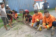 Petugas Pemadam Kebakaran Tangkap Ular Piton 4 Meter di Gresik