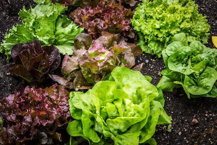 Ilustrasi selada, menanam selada.