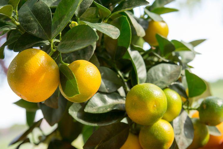 Ilustrasi tanaman jeruk calamondin.