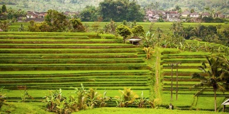 Ukustrasi: Sawah di Desa Jatiluwih di Kabupaten Tabanan, Bali.