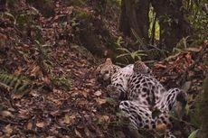 Habitat Terganggu, Macan Tutul Beraksi