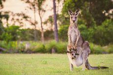 Mirip Hewan Peliharaan, Kanguru Juga Bisa Berkomunikasi dengan Manusia