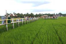 Wisata Sawah Mane Kareung di Lhokseumawe, Puas Selfie di Tengah Sawah