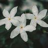 Cara Merawat Tanaman Bunga Melati Putih