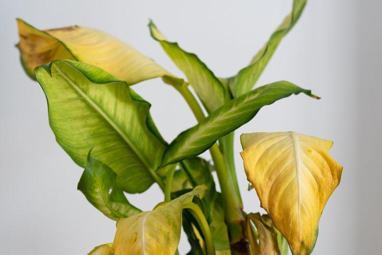 Ilustrasi daun tanaman menguning.