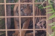 Tangkap 2 Harimau Sumatera, BKSDA Sumbar Masih Pasang Perangkap, Ini Alasannya