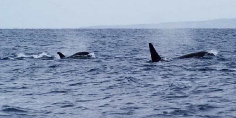 Para penyelam yang menyaksikan satu kawanan ikan paus yang membunuh seekor ikan hiu putih di perairan Australia Selatan menggambarkan pertarungan mereka sebagai ibu dari segala pertarungan.