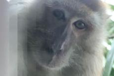 Ponsel Hilang Ditemukan dengan Foto-foto Selfie Monyet, Kok Bisa?