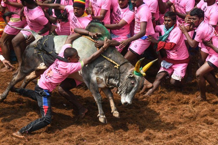 Peserta berusaha menaiki punggung sapi jantan dalam Festival Jallikattu, festival gulat sapi jantan yang diselenggarakan di Kota Pudukottai, negara bagian Tamil Nadu, India.