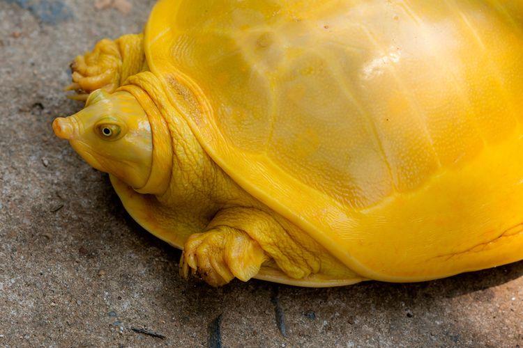 Kura-kura berwarna kuning ditemukan di India. Kura-kura ini termasuk kura-kura albino.