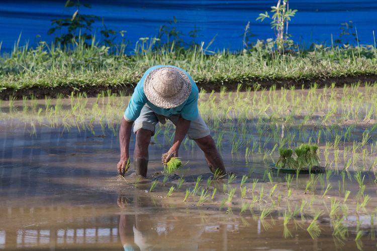 Ilustrasi petani beras di Indonesia