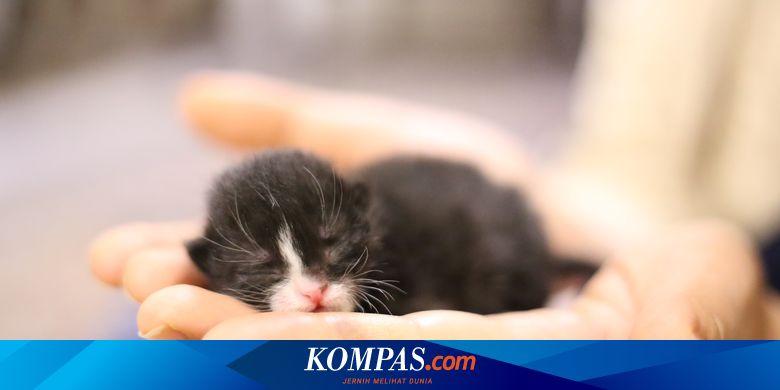 Cara Mengurus Bayi Kucing yang Ditinggalkan Induknya