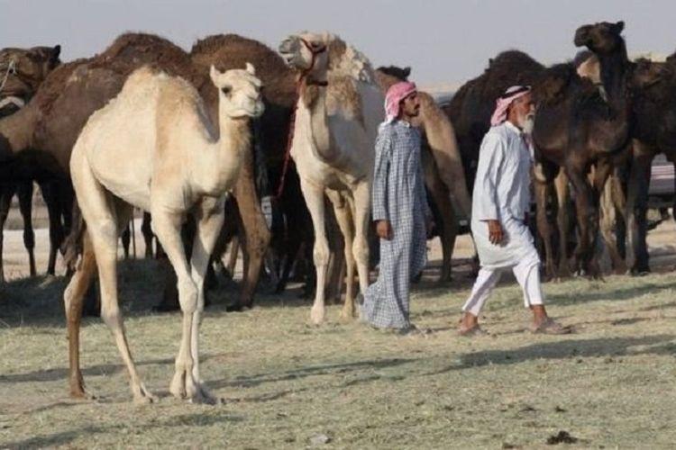 Kawanan besar unta melintasi perbatasan Arab Saudi untuk kembali ke Qatar dalam beberapa hari terakhir, diusir dari padang rumput Arab Saudi.