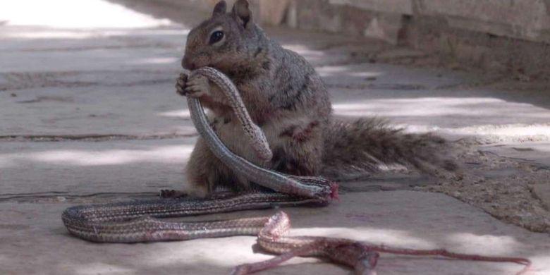 Tupai melucuti kulit ular.