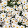5 Fakta Menarik Bunga Daisy yang Penuh Arti dan Simbol