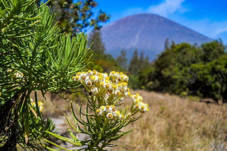 Bunga edeweiss di Gunung Semeru.