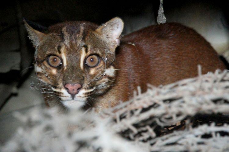 Seekor Kucing Emas Asia (Catopuma temminckii) liar.