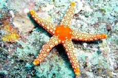 4 Tahun Menghilang, Bintang Laut Kembali ke Pantai Barat AS