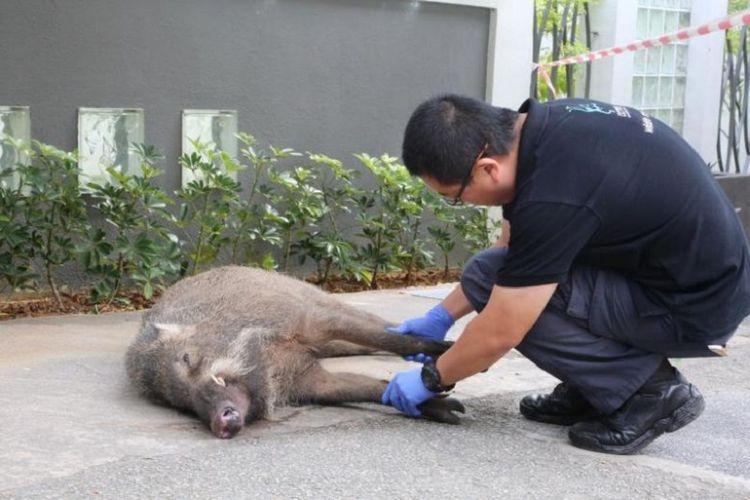 76+ Gambar Babi Hutan Mati Paling Bagus