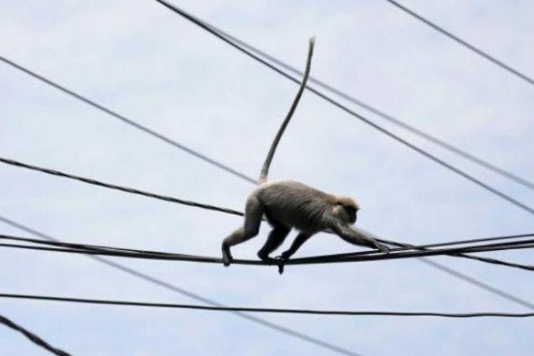 Ilustrasi monyet berkeliaran.