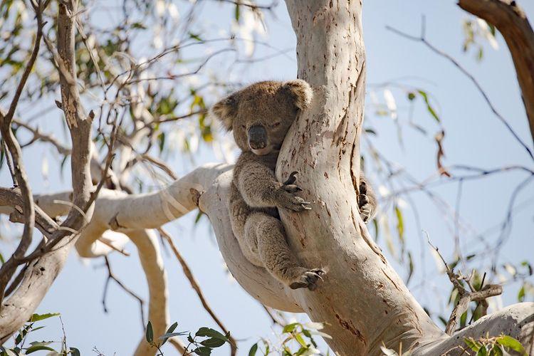Koala sedang tertidur di atas pohon