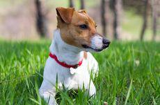 Seberapa Jauh Anjing Bisa Mencium dan Mendengar?