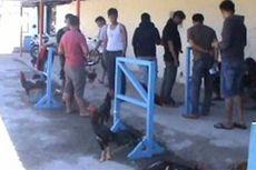 Kadis Pertambangan Mamuju Ditangkap di Lokasi Judi Sabung Ayam