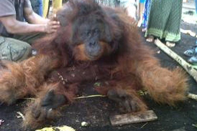 Orangutan yang tewas di sekitar permukiman penduduk Peniraman, Kecamatan Sungai Pinyuh, Kabupaten Pontianak, Kalbar, Selasa (22/10/2013).