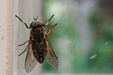 12 Penyakit yang Dapat Ditularkan Lalat