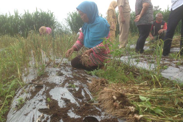 Suliyem, petani bawang putih dari Desa Kopeng, Kecamatan Getasan, Kabupaten Semarang, Jawa Tengah, memanen dini karena adanya cuaca ekstrim, Senin (4/3/2019).