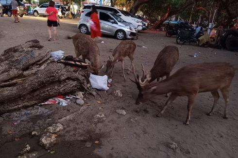 Miris! Rusa di Pantai Pangandaran Mengais Makanan di Bekas Sampah