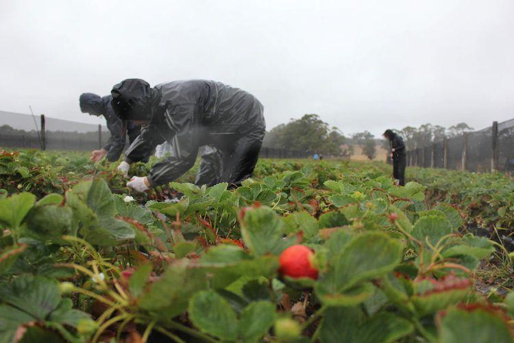 Asosiasi Petani Stroberi Queensdland akan berusaha maksimal agar para pekerja tidak diperlakukan buruk.