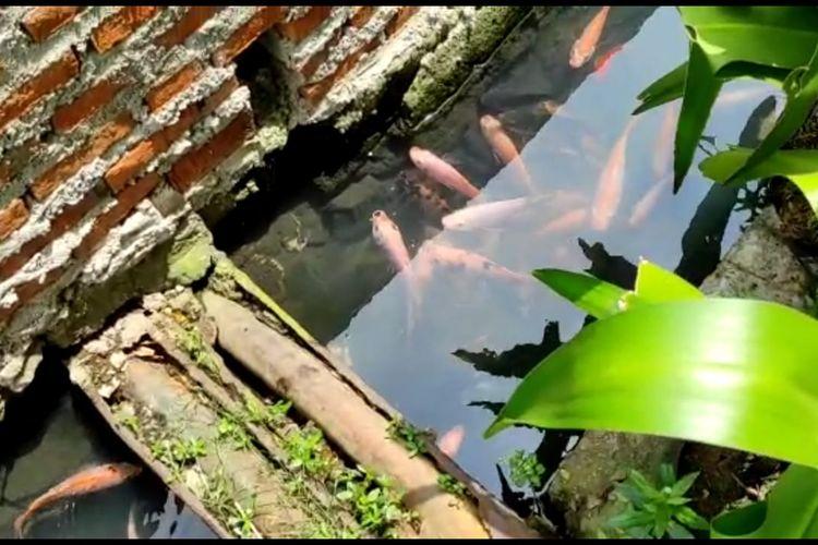 Ikan hias di selokan di Jalan Lorong 103 RT/09 RW/02 Kelurahan Koja, Jakarta Utara.